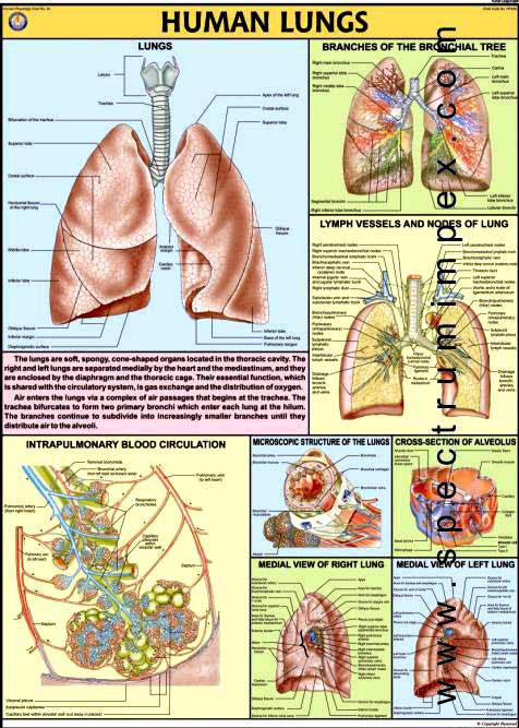 Spectrum Impex :: Human Lungs